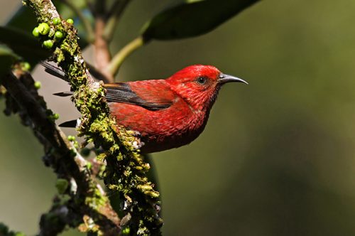 Kaua'i Forest Bird Recovery Project